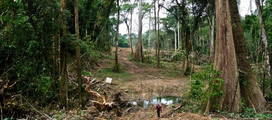 Palisanderbaum im regenwald  Die Bäume weinen! Holzfäller sofort stoppen! | haluise