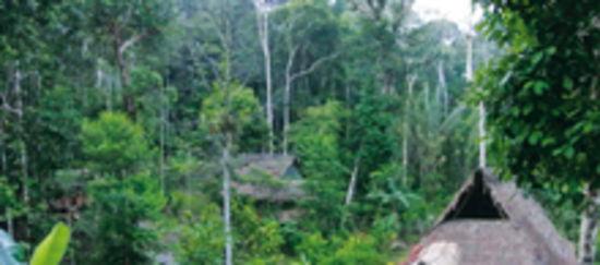 Palisanderbaum im regenwald  BAUM   haluise