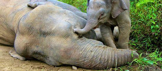 Ein Elefantenkalb versucht vergeblich mit seinem Rüssel seine am Boden liegende vergiftete Mutter zu wecken