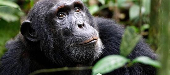 Schimpanse im Regenwald