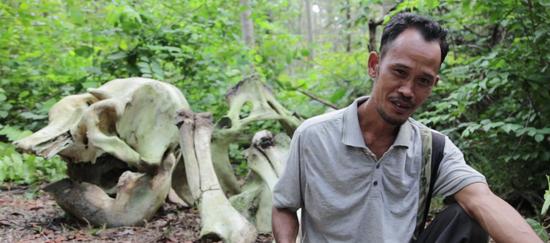 Elefanten-Knochen auf Sumatra