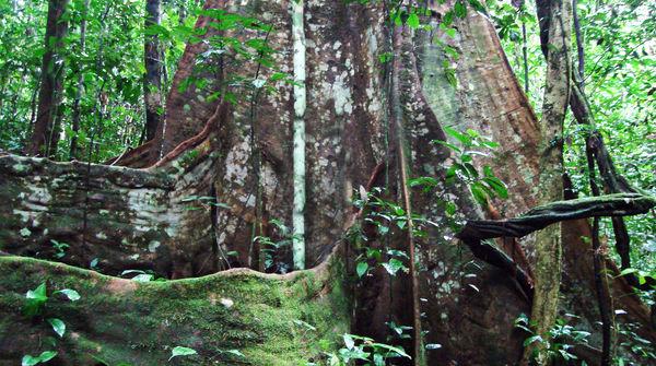 Mann vor riesigem Baum in Nigeria Cross River Park