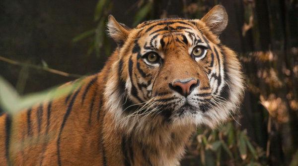 Sumatran Tiger Leuser