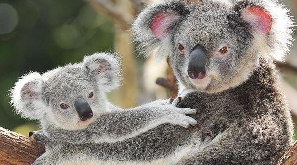 Eine Koalamutter mit ihrem Nachwuchs auf einem Baum