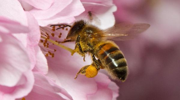 Eine Biene fliegt zu einer Kirschblüte