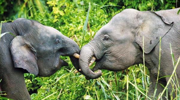Zwei Zwergelefanten auf Borneo