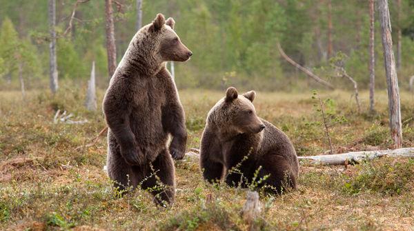 Zwei friedliche Braunbären im Wald
