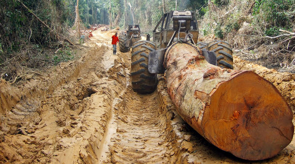 Der Stamm eines tropischen Baumriesen wird von einem Forstschlepper aus dem Regenwald in Zentralafrika gezogen