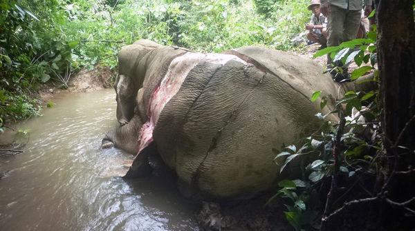 Gewilderter und gehäuteter Elefant in Myanmar