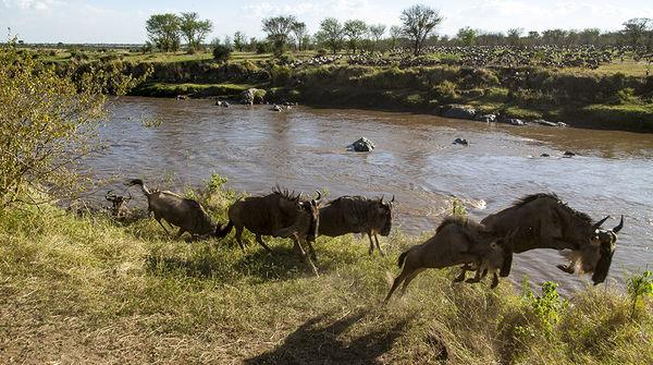 Eine Gnu-Herde überquert einen Fluss
