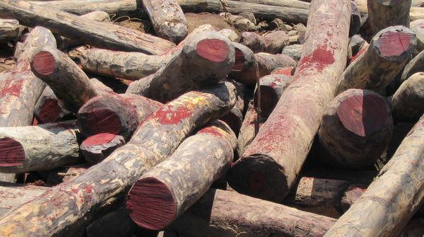 Illegal gefällte Rosewood-Stämme in Madagaskar