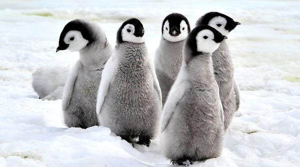 Baby-Pinguine im Schnee