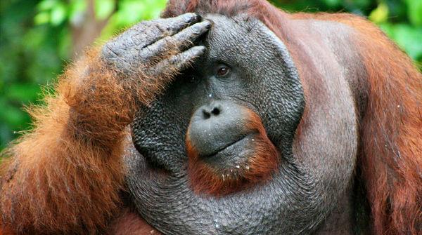 Ein männlicher Orang-Utan fasst sich an den Kopf und blickt nachdenklich in die Ferne