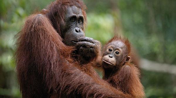 Mutter und Kind – Borneo Orang-Utans gehören zu den gefährdeten Arten