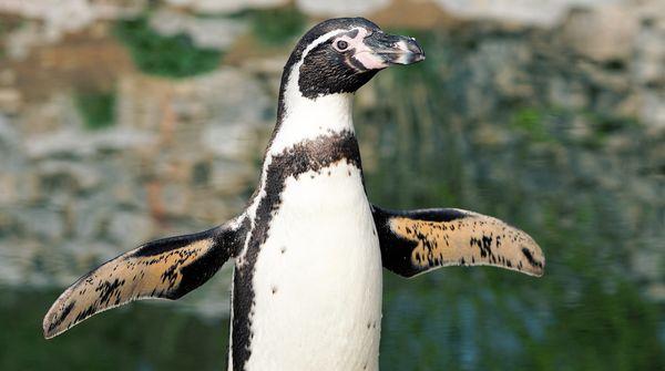 flatternder Humboldt-Pinguin