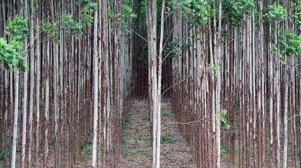 Eukalyptusbäume stehen in Reih und Glied auf einer Industrieplantage eines Papierkonzerns in Brasilien