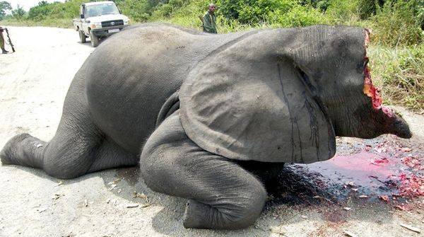 Gewilderter Elefant in Virunga Park