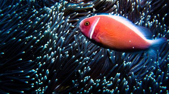 Ein orangefarbener Fisch im Meer vor Bali