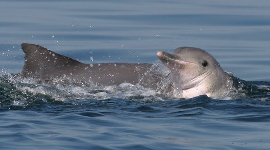 Guyana Delfin