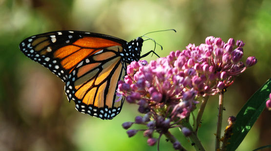 A monarch butterfly sucks on the inflorescence of a swamp milkweed nectar