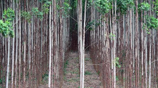 Eucaliptos monocultivo