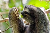 Sloth in tree, nibbling on a leaf