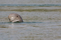 An Irrawaddy dolphin's head above the water